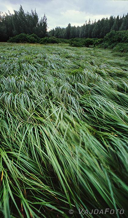Nagyítás - (Susogó sás - Pacsmag, 1999. augusztus T90)